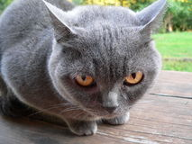 Britische blaue Katze Lizenzfreie Stockbilder