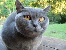 Britische blaue Katze Lizenzfreie Stockfotografie
