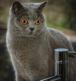 Britische blaue kurzes Haar-Stammbaum-Katze lizenzfreie stockfotos