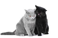 Britische blaue und schwarze persische Katzen Lizenzfreies Stockbild