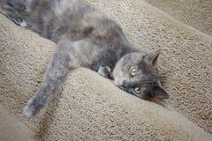 Britische blaue Zucht- Katze der Mischung Stockfotografie