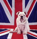 Britische Bulldogge Lizenzfreie Stockfotografie
