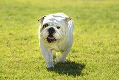 Britische Bulldogge, die im Hundepark spielt lizenzfreie stockfotos
