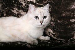 Britische Chinchilla Katze Stockfoto