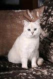 Britische Chinchilla Katze Stockfotografie