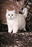 Britische Chinchilla Katze Stockbild