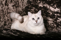 Britische Chinchilla Katze Stockbilder