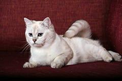 Britische Chinchilla Katze Lizenzfreie Stockbilder