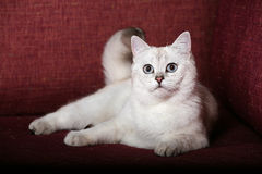 Britische Chinchilla Katze Lizenzfreies Stockfoto