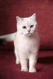 Britische Chinchilla Katze Lizenzfreies Stockbild