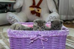 Britische flaumige Kätzchen, die im Korb sitzen stockfotografie
