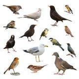 Britische Garten-Vögel Stockfotos
