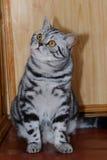 Britische gestreifte Katze Stockbild