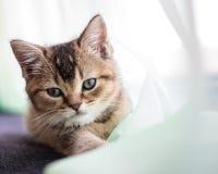 Britische goldene Chinchilla des netten flaumigen Kätzchens wird über tra getickt stockfotografie