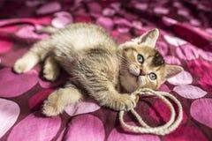 Britische goldene Chinchilla des netten Kätzchens wird auf einem farbigen bla getickt stockfotografie