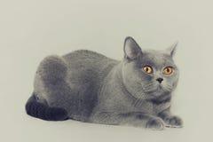 Britische graue Katze Lizenzfreie Stockbilder