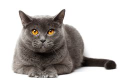 Britische graue Katze, die vor weißem Hintergrund sitzt Stockfoto
