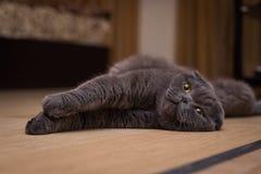 Britische graue Katze, die zurück auf seiner liegt lizenzfreie stockfotografie