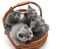 Britische Kätzchen Lizenzfreie Stockfotos