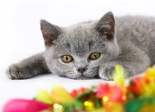 Britische Kätzchen mit Spielzeug Stockfoto