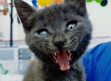 Britische Katze Stockbilder