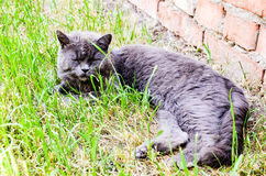 Britische Katze Stockfoto