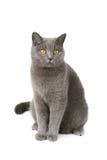 Britische Katze Lizenzfreies Stockfoto