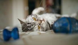Britische Katze auf dem Bett Lizenzfreie Stockfotos