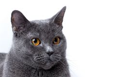 Britische Katze auf einem weißen Hintergrund Stockfotografie