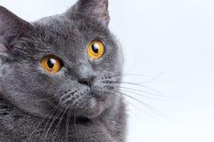 Britische Katze auf einem weißen Hintergrund Stockfoto