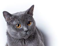 Britische Katze auf einem weißen Hintergrund Lizenzfreie Stockbilder