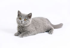 Britische Katze auf Weiß Stockfotos