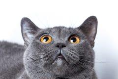Britische Katze auf weißem Hintergrund sitzt oben schauen Stockfotografie