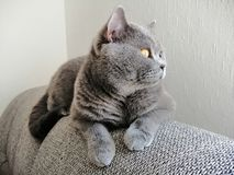 Britische Katze des kurzen Haares, die auf Sofa sitzt und weg schaut lizenzfreie stockbilder
