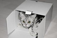 Britische Katze des kurzen Haares im weißen Kasten stockbilder