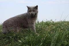 Britische Katze, die im Gras auf links steht Lizenzfreie Stockfotos
