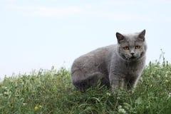 Britische Katze, die im Gras steht Stockfotografie