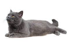 Britische Katze, die nach links liegt und schaut Stockfotografie