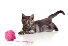 Britische Katze, die rote Schlaufe oder Kugel spielt Lizenzfreies Stockfoto