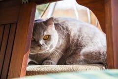 Britische Katze, die unter der Tabelle sich versteckt Lizenzfreies Stockbild