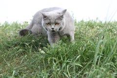Britische Katze, die vorwärts im Grasblick steht Stockfoto