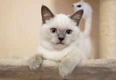 Britische Katze - Farbblauer Punkt lizenzfreie stockfotografie