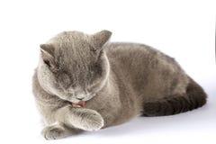 Britische Katze gewaschene Nahaufnahme auf Isolierung stockbild