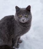 Britische Katze im Schnee im Winter Stockbilder