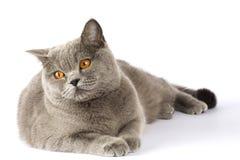 Britische Katze liegt auf einem weißen Hintergrund und untersucht das distan Lizenzfreies Stockfoto