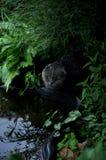 Britische Katze mit Hängeohren im Garten durch den Teich Ein strenger Blick stockfotos