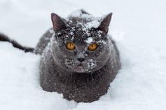 Britische Katze sitzt in einer tiefen Schneewehe Stockfotografie