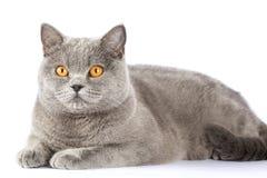 Britische Katze untersucht den Abstand Stockfoto
