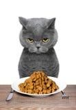 Britische Katze wird essen Stockbild