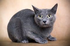 Britische kurzhaarige Katze Lizenzfreie Stockbilder